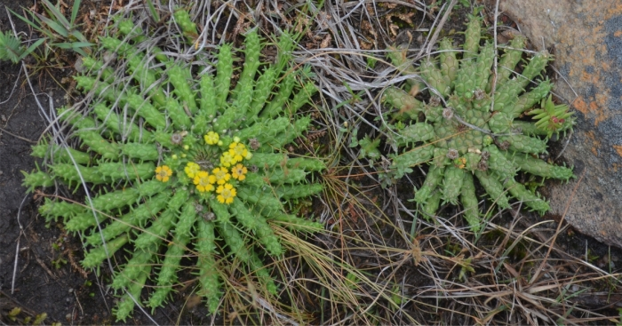 Euphorbia flanaganii, growing in habitat.