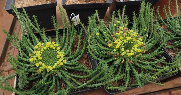 Euphorbia flanaganii, growing in pots in the nursery.