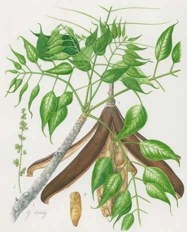 Entandrophragma caudatum, illustration by G. Condy