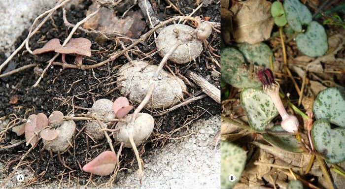 Ceropegia linearis subsp. woodii in habitat. A, aerial tubers pressed against the soil surface eventually root (note the connection of the stem between these tubers here depicted). (Photo A Graham Grieve) B, Flowering stems with leaves amongst humic-rich soils and leaf litter on the forest floor. (Photo B Judd Kirkel)
