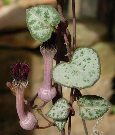 Ceropegia linearis subsp. woodii with flowers and leaves hanging from a basket. (Photo Cameron McMaster)