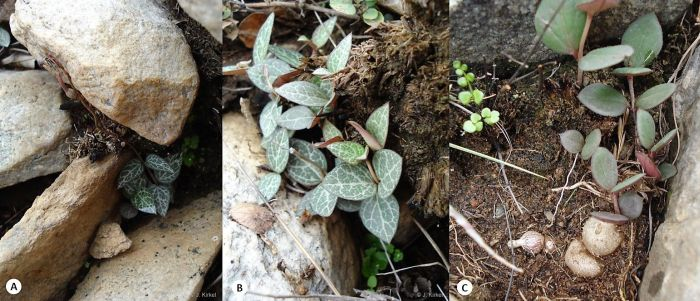 Various plants of Ceropegia linearis subsp. woodii in habitat in rocky patches with shallow soils in ledges within indigenous forests. (Photos Judd Kirkel)