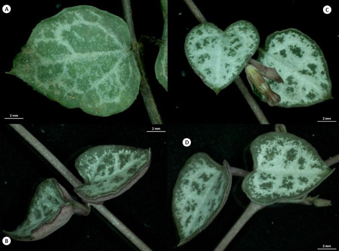 Leaves of Ceropegia linearis subsp. woodii. A, ovate blade with cordate base; B, heart-shaped leaves; C, leaves are succulent and opposite at the nodes; D, leaves getting dappled light develop marbled surfaces. (Photos S.P. Bester)
