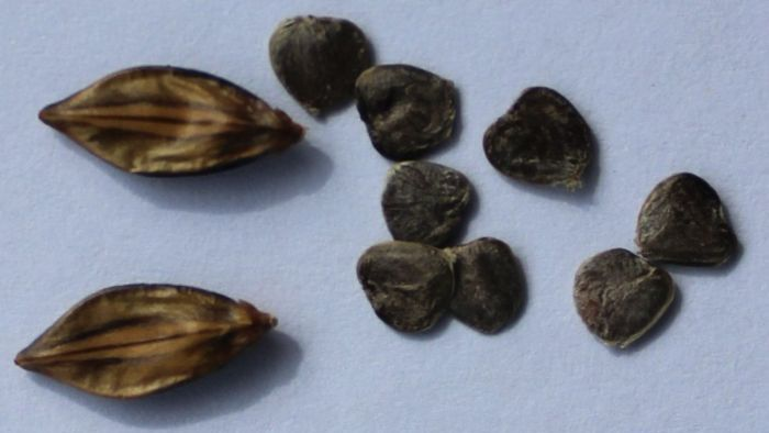 Barleria irritans, capsules and seeds.