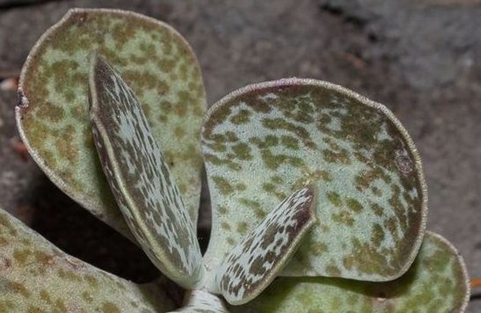 Adromischus maculatus (Photo Adam Harrower)