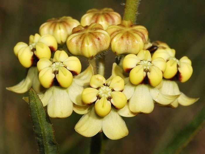 Asclepias woodii (Photo A Shuttleworth)