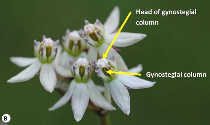 Some parts of a typical Asclepias flower. (B) Asclepias brevicuspis. (Photos SP Bester)
