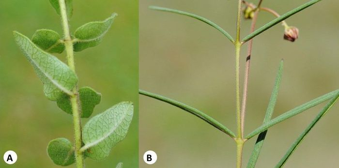 Opposite and decussate leaves in Aslepias (A) Asclepias albens, (B) Asclepias cucullata. (Photos SP Bester)