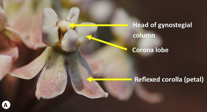 Some parts of Asclepias adscendens, a typical Asclepias flower. (Photo SP Bester)