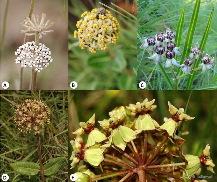 Inflorescences in Asclepias species. (A) Asclepias densiflora (Photo SP Bester); (B) Asclepias vicaria (Photo SP Bester); (C) Asclepias crassinervis (Photo J Kirkel); (D) Asclepias macropus (Photo A Shuttleworth); (E) Asclepias crispa. (Photo A Shuttleworth)