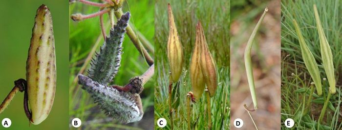 Fruit of some Asclepias species. (A) Asclepias albens (Photo SP Bester); (B) Asclepias densiflora (Photo SP Bester); (C) Asclepias vicaria (Photo HM Steyn); (D) Asclepias aurea (Photo SP Bester); (E) Asclepias gibba (Photo SP Bester)