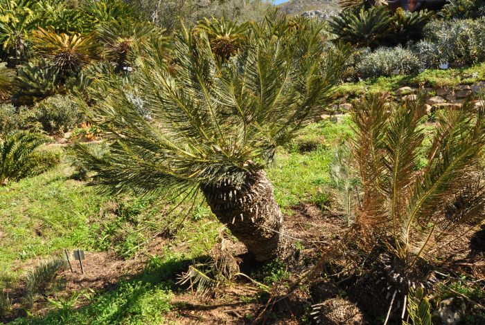 Encephalartos ghellinckii, lowland form with mature, green leaves, Kirstenbosch NBG. (Photo Alice Notten)