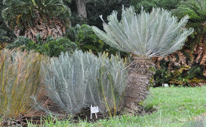 Encephalartos ghellinckii, lowland form in fresh leaf, Kirstenbosch NBG. (Photo Alice Notten)