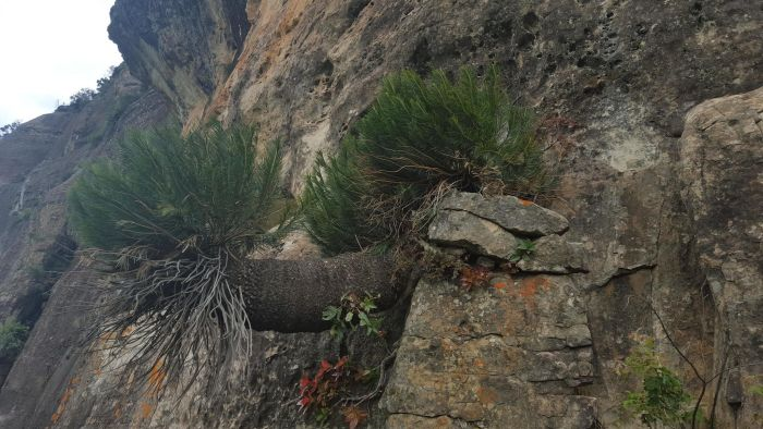 Encephalartos ghellinckii growing on a cliff in the Drakensberg. (Photo Lyle Ground)