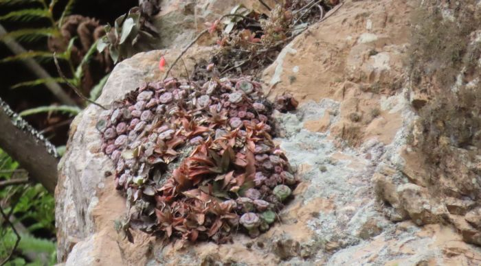 Crassula cremnophila in its cliff-face habitat, eastern Baviaanskloof together with Gasteria camillae.