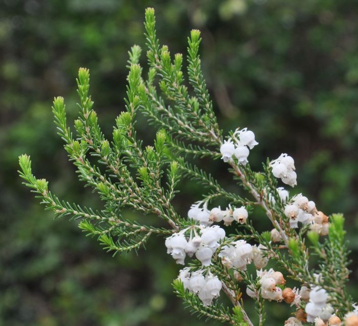 Erica tragulifera, flowering branch.