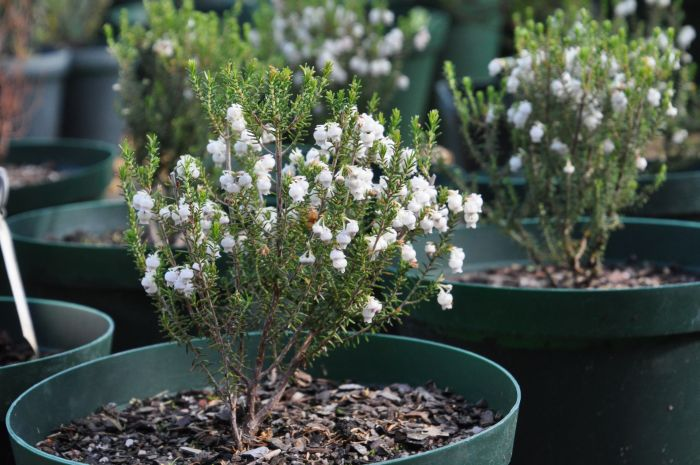 Erica tragulifera, growing in a pot, Kirstenbosch Collections Nursery.