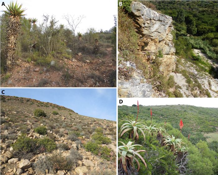 Habitat of H. magnifica near Riversdale, Western Cape. (Photos S.D. Gildenhuys)