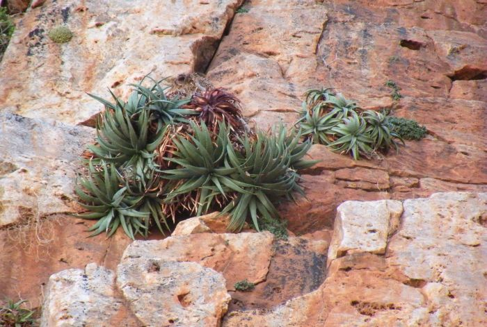 Two clusters of Aloe dabenorisana on the Dabenorisberg, Bushmanland, N. Cape. Note the Conophytum sp. in the left hand corner and Tylecodon sulphureus var. armianus on the right hand side, both obligatory cliff-dwelling plants.