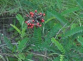 Abrus Precatorius Subsp Africanus Plantzafrica