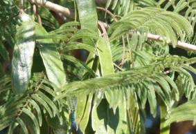 Leaves and seedpods