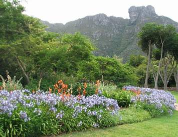 Growing with Watsonia pillansii in Kirstenbosch