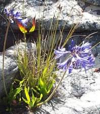 Agapanthus africanus on Table Mountain in January.
