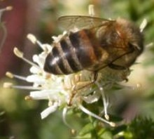 Image of bee visiting A. apiculata bloom