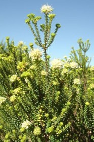 Image of A. apiculata bush