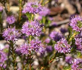 Image of purple Agathosma flowers