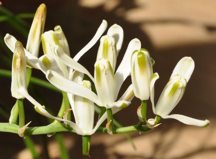 Albuca batteniana, flowers.