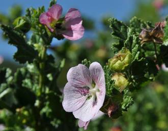 Anisodontea scabrosa flower and foliage