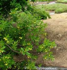 Image of plant growing in habitat