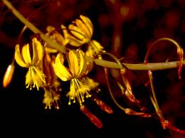 Close-up of the flowers of Bulbine cremnophila (cultivated plants)