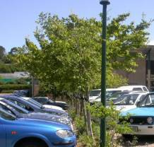 As shade trees in carpark
