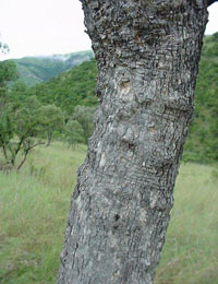 Trunk of Combretum molle