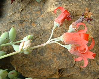 A flowering branch of Cotyledon pendens