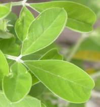 Trifoliate leaves