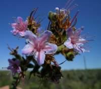 Flowering near Riversdale