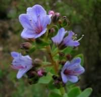 L. glaucophyllus on Table Mountain.