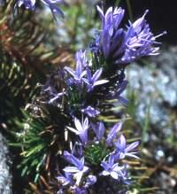 M.azurea