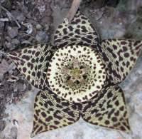 O. variegata