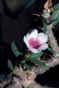 P. bispinosum