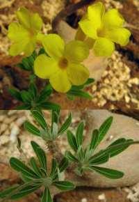 P. densiflorum var. densiflorum