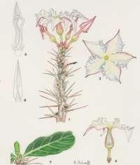 P. lealii Flowering Plants of Africa