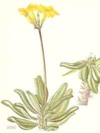 P. rosulatum