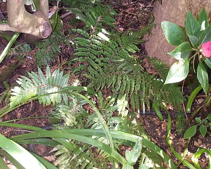 Polystichum monticola