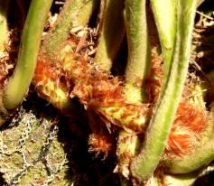 Reddish-brown scales
