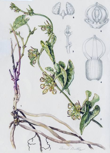 Riocreuxia flanaganii drawing