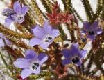 Roella triflora